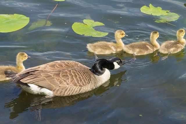 animals-birds-goose-with-chicks